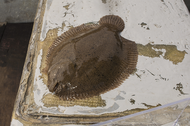 Freshwater sole, a unique bottom dweller found along the beaches