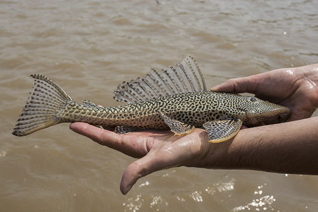 Huge pleco collected in the Amazon. This species is a locally important food fish