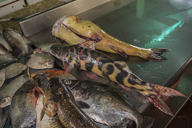 Food fish for sale in the market- including the flash zebra catfish (Brachyplatystoma juruense)
