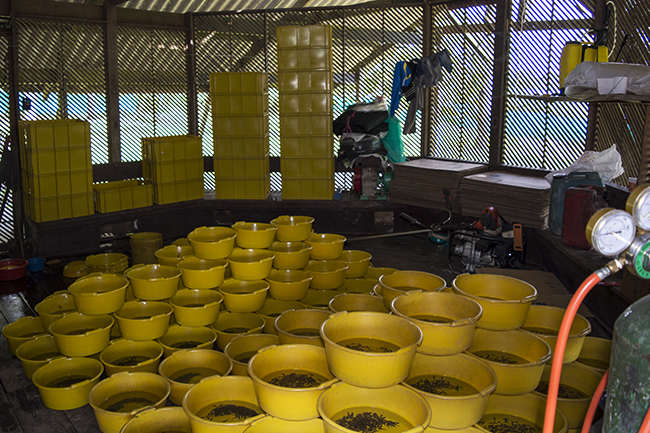 Buckets of otocinclus and pygmy cories being prepped for shipment to Bogota