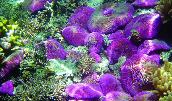 Bed of Fungia sp. corals in the Mariana Islands. Credit: NOAA/David Burdick