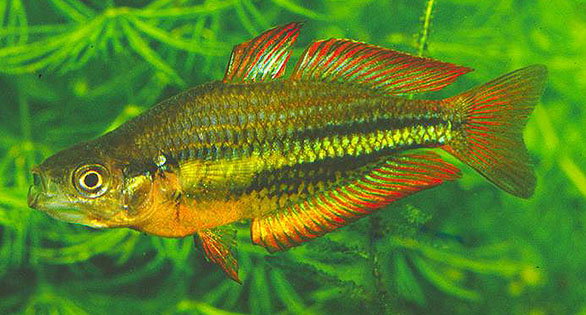 Male Running River or Burdekin Rainbowfish in an aquarium system. Experts fear that the pure, wild form of the species could be lost in the near future. Image: Neil Armstrong.