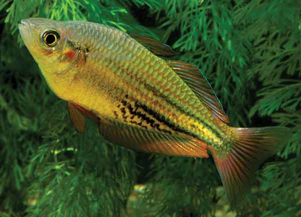 Male Running River Rainbowfish in an aquarium. Wild populations may be lost due to hybridization with an introduced species. Image: Keith Martin.