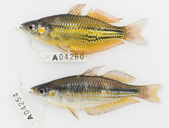 Museum specimens of a male Running River Rainbowfish (top) and an introduced male Eastern Rainbowfish (bottom) collected alongside each other. Photo by Michael Hammer.