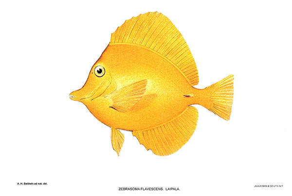 Yellow Tang illustration from vintage collection of Hawaiian reef fishes: the islands' leading export to the marine aquarium trade.