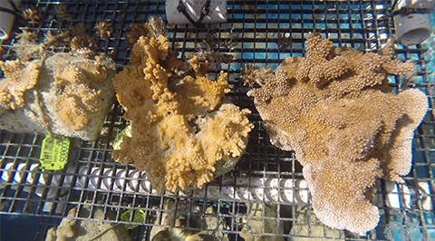 Small, started frags, left, are mounted in clusters and allowed to grow together, as shown at center. Speeded up growth gets the new colony to sexually maturing size, right, in about a year.
