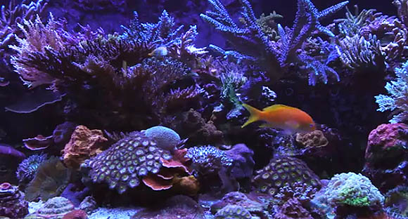 An awe-inspiring American reef with an eclectic combination of high-tech lighting and system management technology, including continuous water changes.