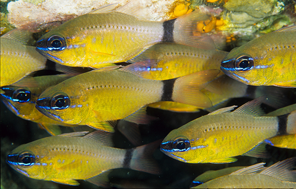 Ringtail Cardinalfishes, Ostorhinchus aureus, excellent shoaling species for a reef aquarium. Image: Scott W. Michael.