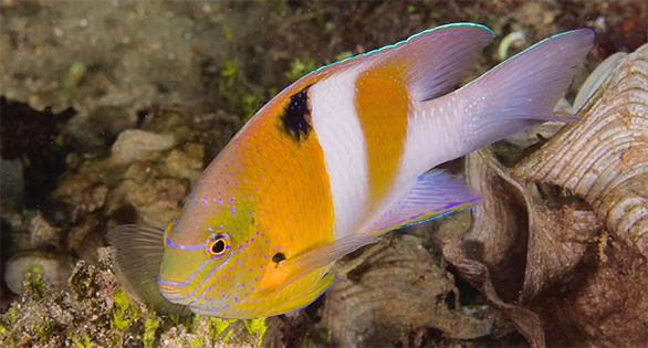 Solomon Islands Honeyhead Damselfish by Bruce Carlson.