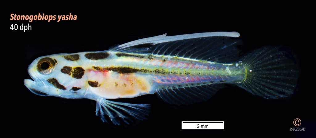 World's first image of a newly-settled Yasha Hase Goby, Stonogobiops yasha, as shared by Rising Tide on 3/20/2016. Image by Joe Szczebak!