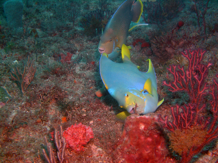 "A Blue Angelfish hangs in the background, while a possible hybrid ""Townsend's"" Angelfish grazes in the foreground. The incomplete nape crown, yellow trailing edge on the anal fin, and body color extending into the tail, are possible tip-offs to some cross breeding in this fish's genetic history. Image by <a href=""https://www.flickr.com/photos/54556732@N00/154542266/"" target=""_blank"">Gary Rinaldi</a> 