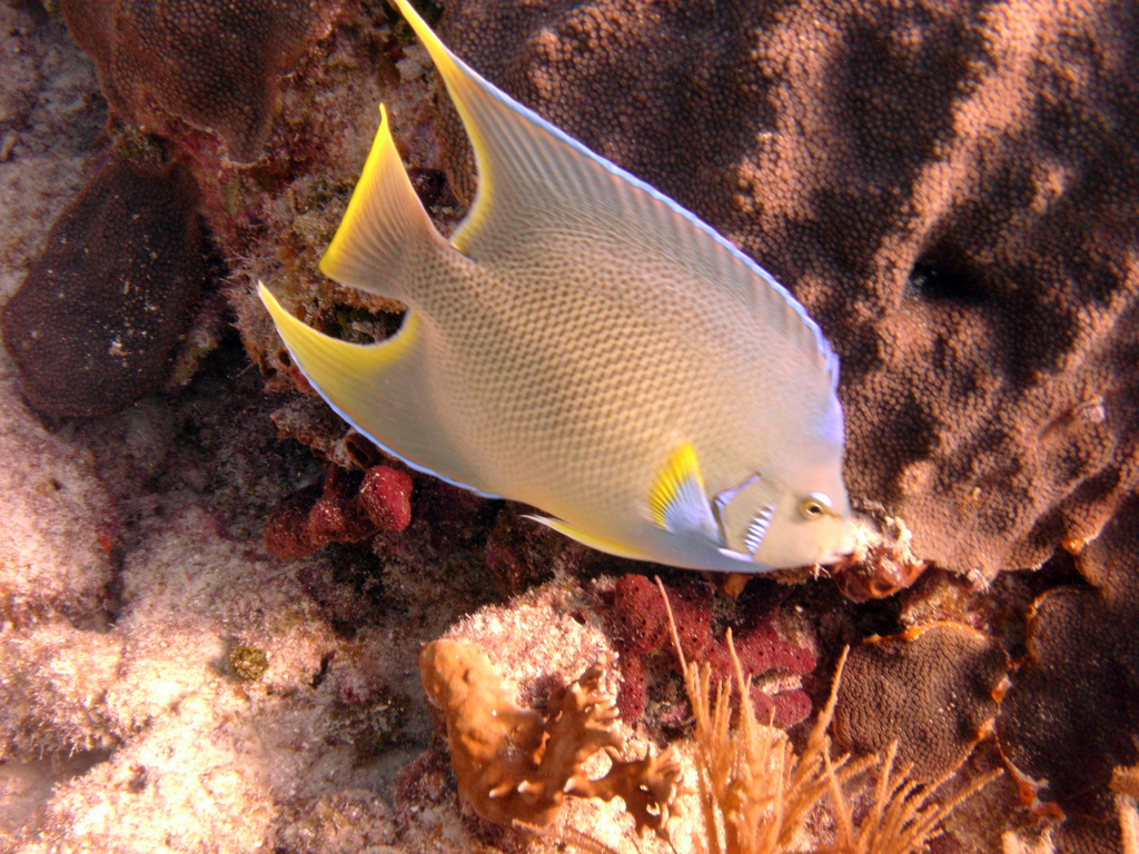 "Another look at the Blue Angelfish, showing how they can still show a ""blue crown"" of sorts on the nape, but overall clearly illustrating the immediate coloration differences that distinguish it from the Queen Angelfish. Image by Flickr user amanderson2 
