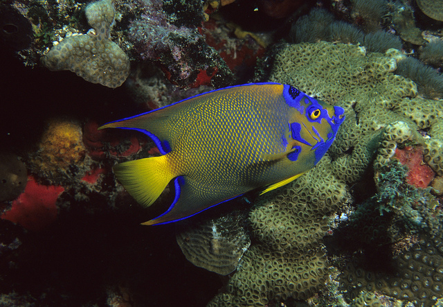 A mature Queen Angelfish, Holacanthus ciliaris, showing the yellow tail, yellow pectoral fins, and nape crown characteristic of the species. Image by Dr. Dwayne Meadows, NOAA/NMFS/OPR | CC BY 2.0