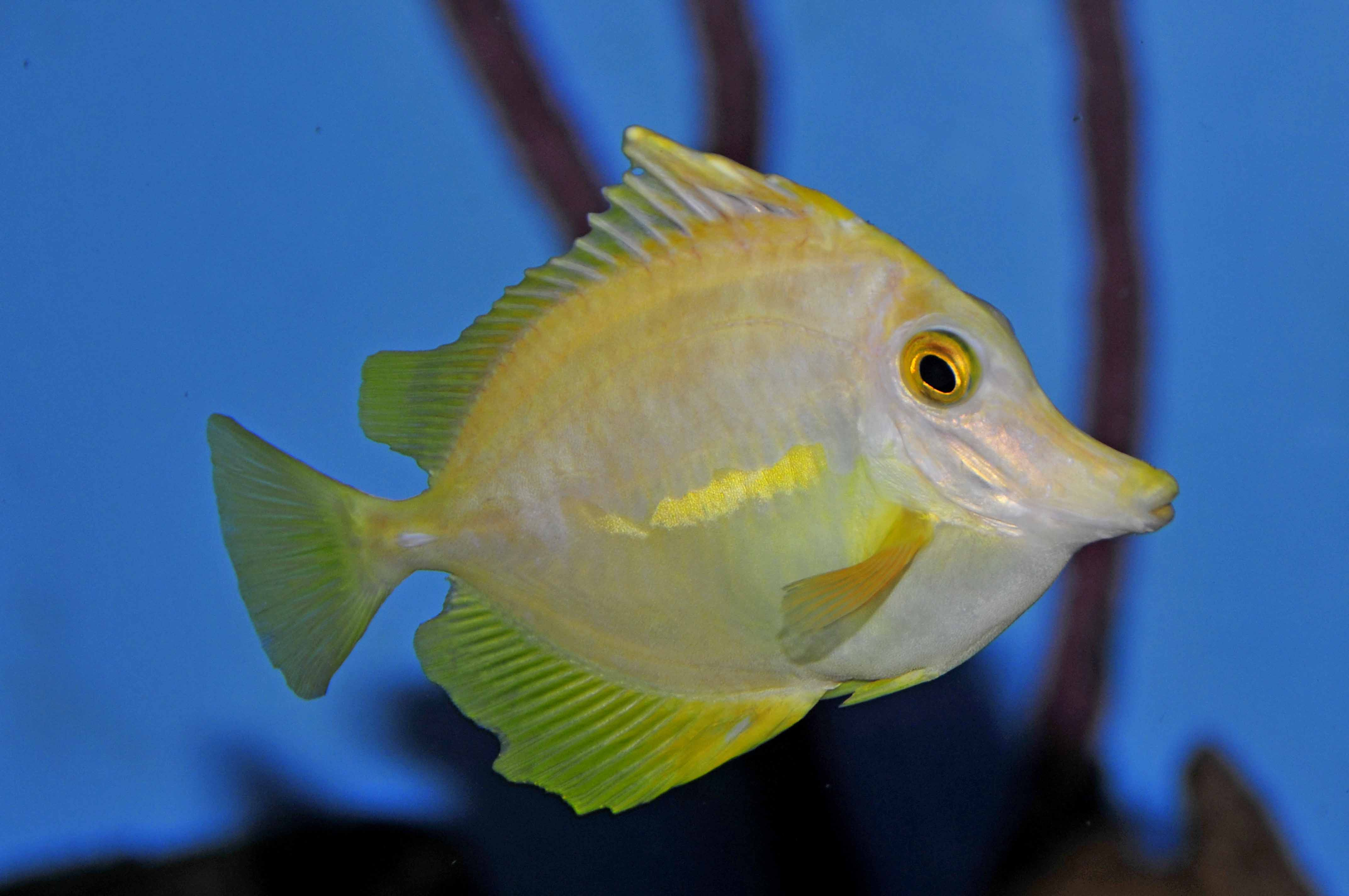 Captive-Bred Yellow Tangs - HLLE?