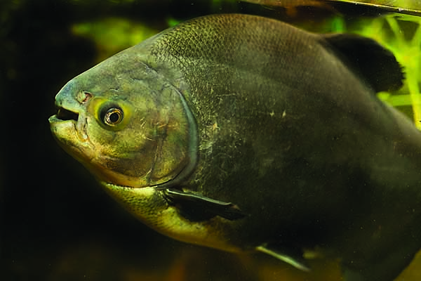 Notorious for outgrowing home aquariums, pet Pacu are too often turned loose in local waters to die or drawn criticism to the aquarium hobby.