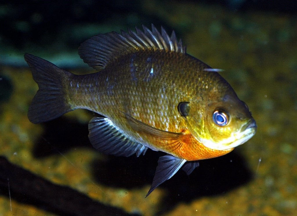 <em>Lepomis macrochirus</em>, the Bluegill.