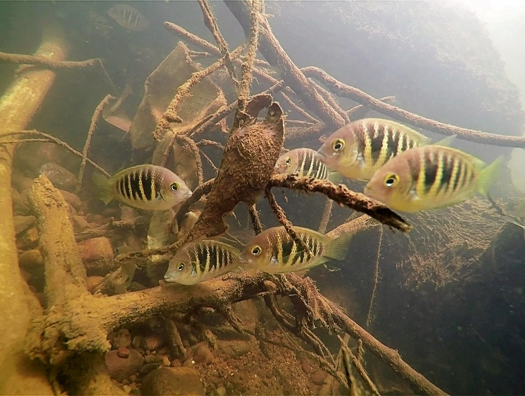 A large school of Etroplus canarensis (Canara Pearlspot Cichlid) eating epilithic algae grown on a dead submerged tree