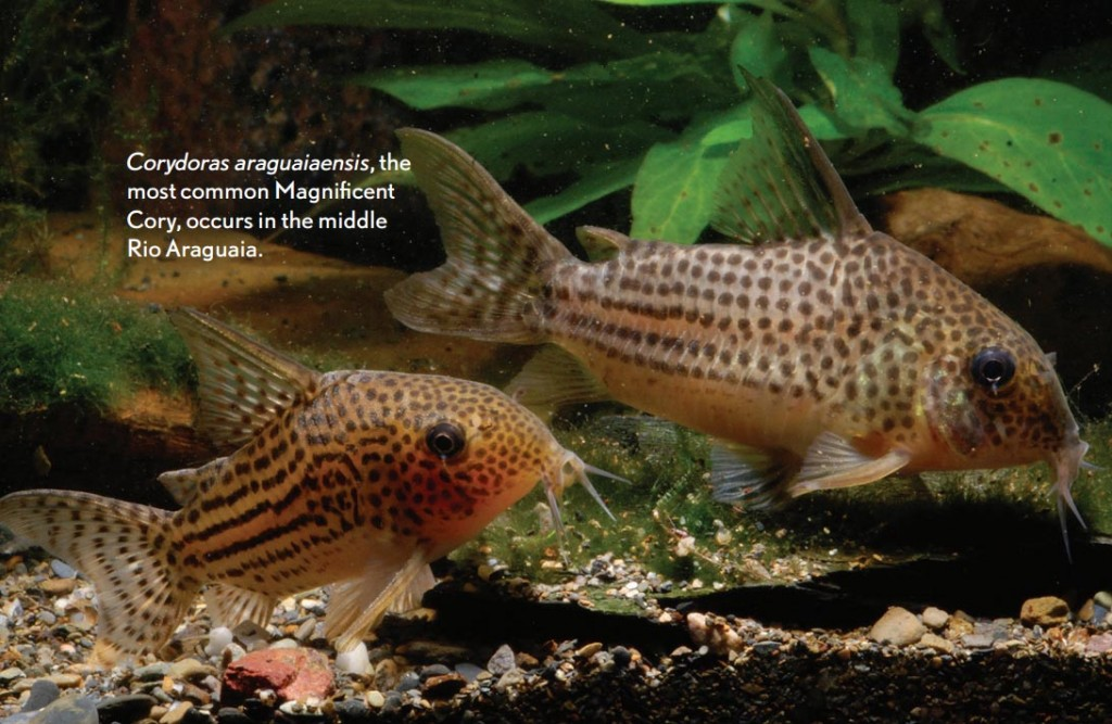 Corydoras araguaiaensis, the most common Magnifiscent Cory, occurs in the middle Rio Araguaia