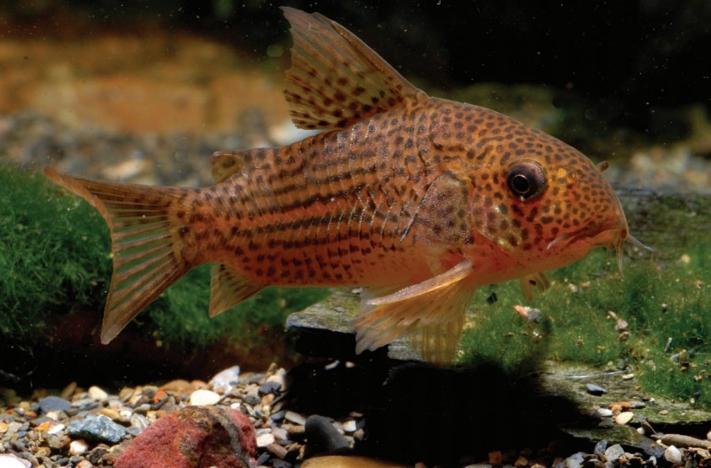 "Formerly known as Corydoras sp. C65, and regionally as Corydoras sp. ""Guaraná"", this species is now described as Corydoras eversi. Image by Hans-Georg Evers"