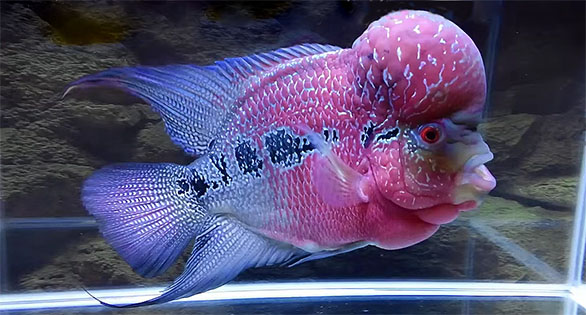 Foo the Flowerhorn: First video is an amazing documentary record of on year in the development of his hump under the care of a pampering owner.