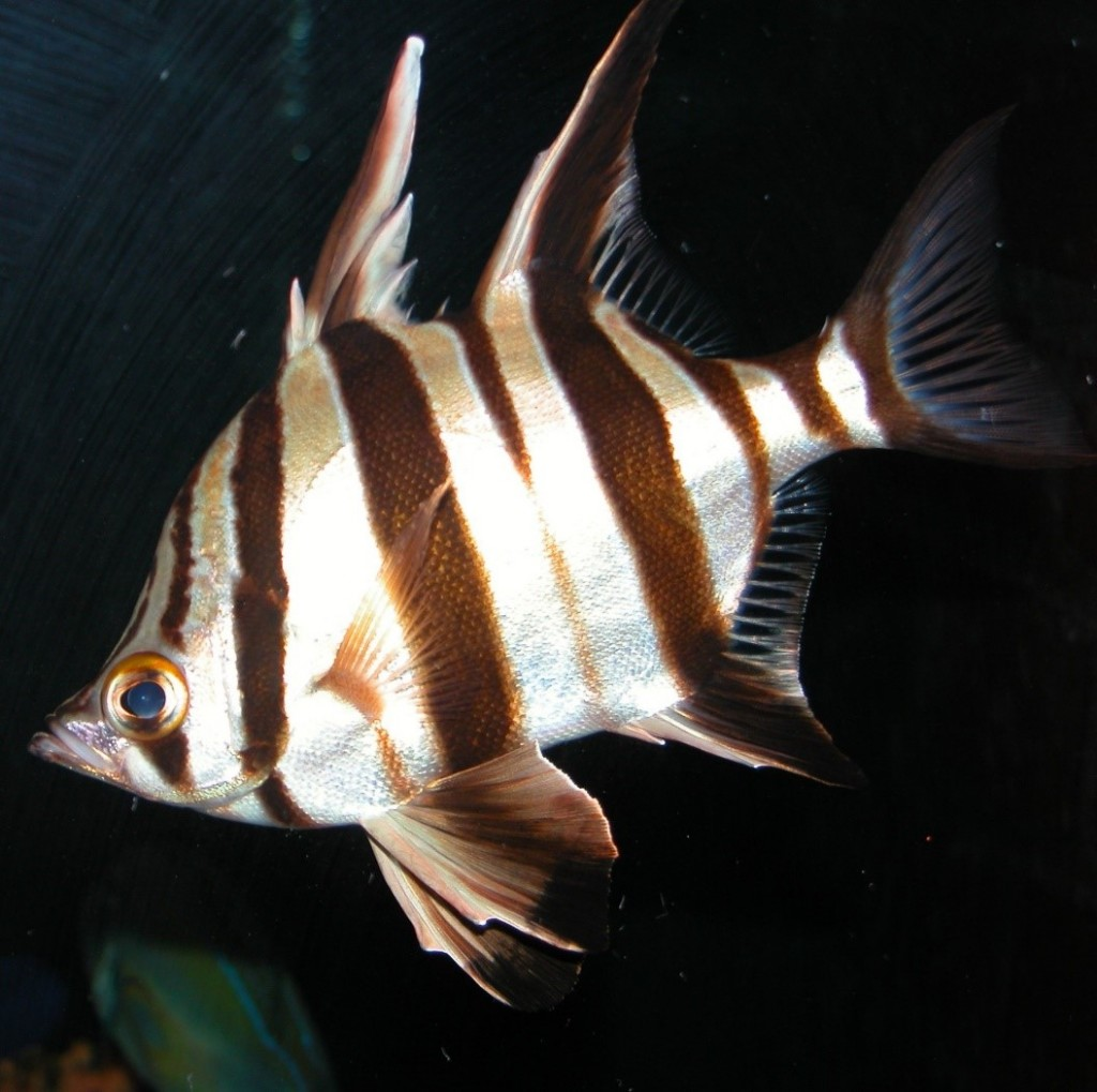 Old Wife fish – named for the grumbling noise it makes when removed from the water