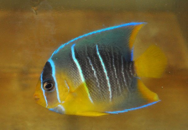 A juvenile Blue Angelfish, Holacanthus bermudensis, identified primarily through straight vertical barring and somewhat less vibrant coloration. Image by Matt Pedersen