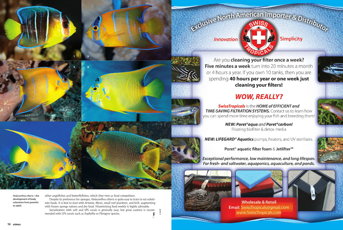 Unfortunately, two  Blue Angelfishes, Holacanthus bermudensis, images 1 and 6 in this series, snuck by misidentified as the Queen Angelfish, Holacanthus ciliaris.