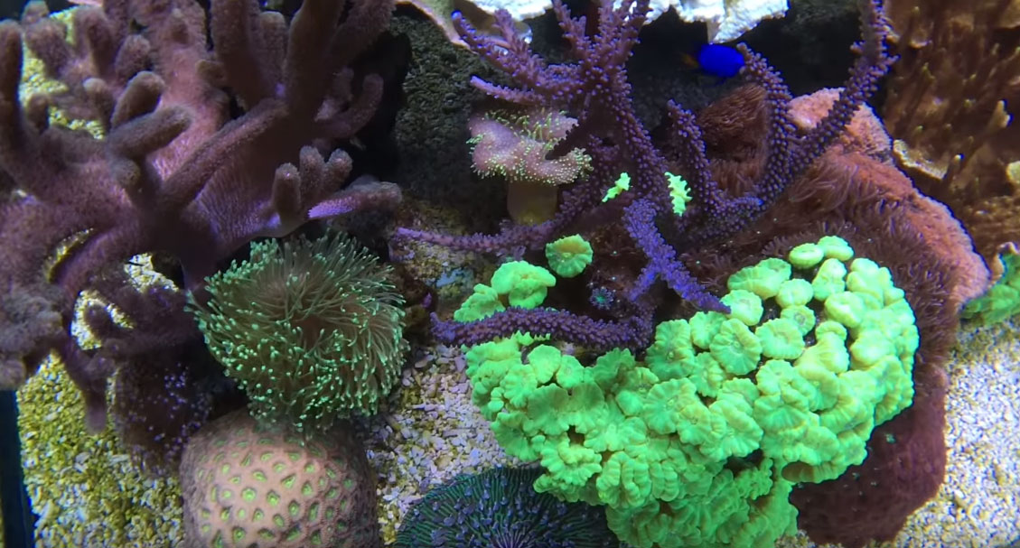 While there are fewer neon green Cluastrea corals (Trumpet or Candy Cane Coral) in the aquarium, the colonies that are present are larger and dense.