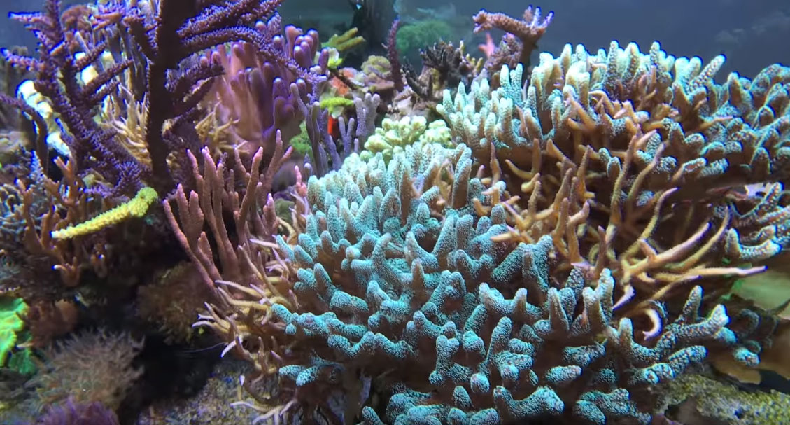 Two distinct types of Birdsnest Corals continue to intertwine and compete as they grow. Will Knop chose to intervene so one coral doesn't smother the other?