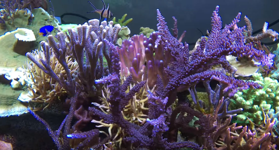 The central portion of the aquarium has been reworked to provide more space for corals to grow in.