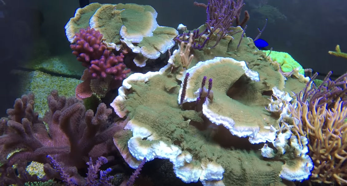 """Knop notes that this green Montipora capricornis has officially become """"dangerous"""" - note how it has simply grown around competing corals and gorgonians!"""