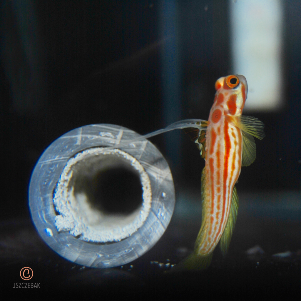 "A mature female Yasha Goby Broodstock with 1"" pvc pipe as a surrogate borrow."