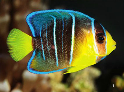 While included in our photo series of Queen Angelfishes, this is in fact a juvenile Blue Angelfish.