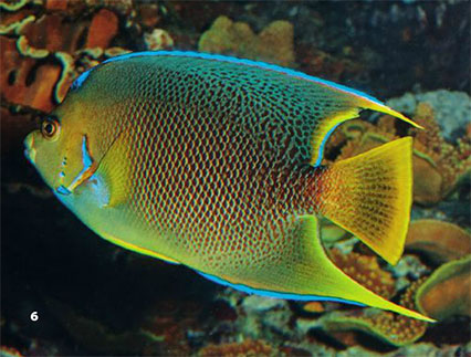 "This image was included in our print issue as a Queen, but is not. While a few might say ""well, could this be a hybrid"", we believe this is actually a mid-sized adult Blue Angelfish; note the pectoral fins are not quite yet mostly blue, and the body coloration is still filling in over the juvenile's solid white tail. We may never know 100%, but what we can say with authority is that this isn't a representative example of a pure Queen Angelfish."