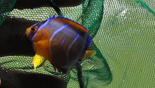 A very small Queen Angelfish showing heavily curved bars and more vibrant / orange coloration. Image by Matt Pedersen