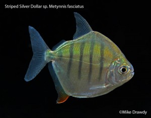 Striped Silver Dollar, great alternative to a pacu or piranha? Image by Mike Drawdy.