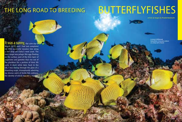 """Every group of captive-bred fish was difficult to breed at one time, even the first clownfish. This research sheds some light on the various culture bottlenecks of another really valuable group of fishes [Butterflyfishes] and brings us one stop closer to making their aquaculture a reality."" Learn more about the world's first captive-bred marine Butterflyfishes, Chaetodontidae, in ""The Long Road To Breeding Butterflyfishes"" by Frank Baensch."