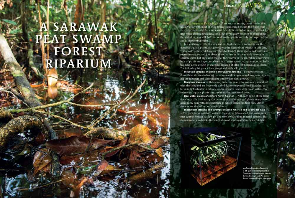 Devin Biggs is back again with a Sarawak blackwater biotope in a riparium featuring marginal plants.