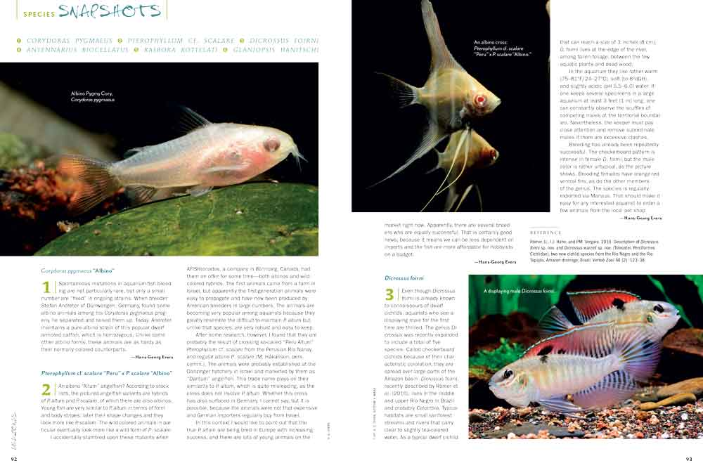 "This issues ""Species Snapshots"" covers albino Corydoras pigmaeus; a look at the ""albino Altums"" showing up in the aquarium trade; an offbeat Checkboard Cichlid species, Dicrossus foirni; a Frogfish / Angler almost more familiar to saltwater enthusiasts but found in brackish and freshwater habitats, Antennarius biocellatus; a large, metallic red Rasbora, Rasbora kottelati; and a stream loach not yet seen in the trade, Glaniopsis hanitschi."