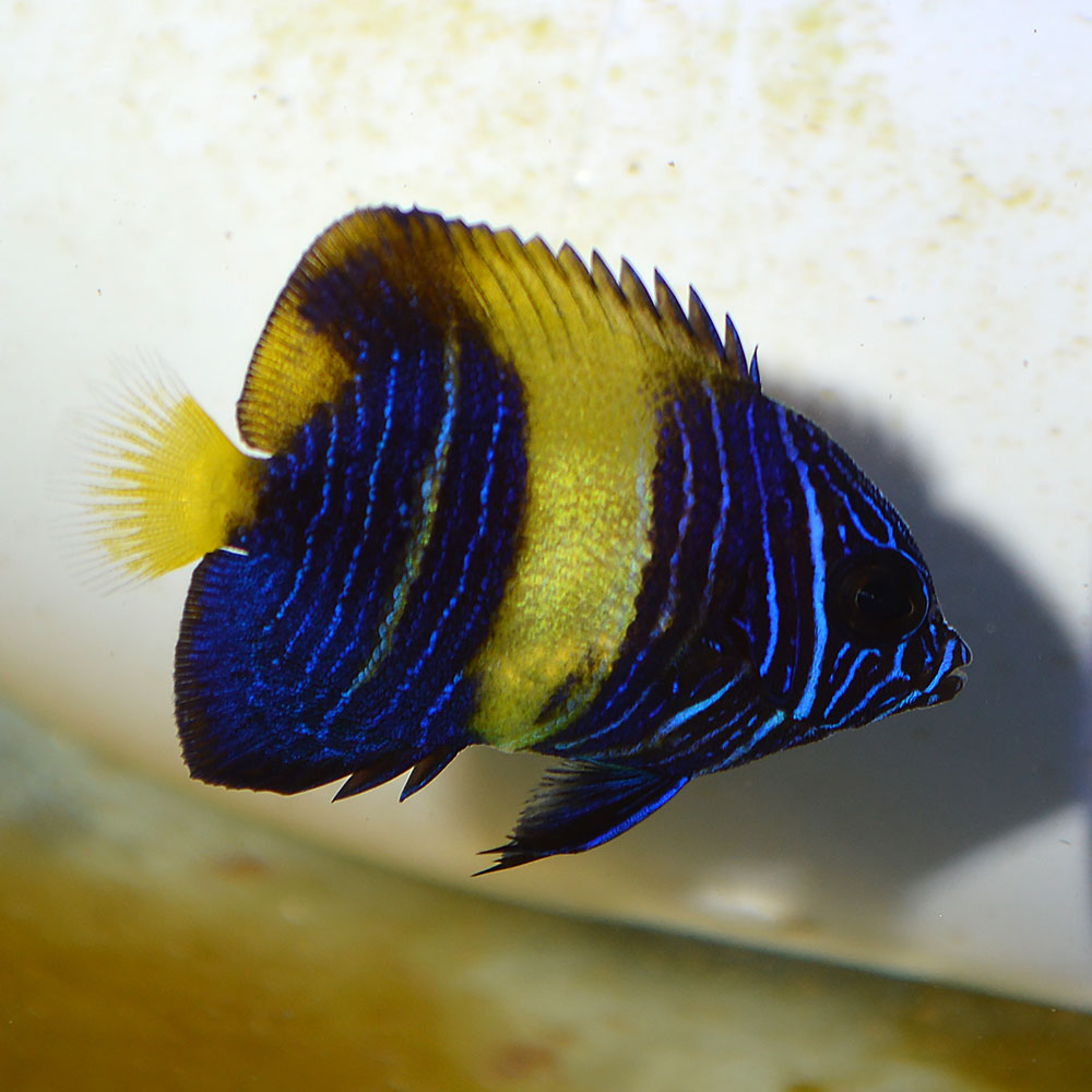 "A tiny, 1""+ juvenile captive-bred Asfur Angelfish, Pomacanthus asfur. This particular specimen was sourced through Segrest Farms as the last one on hand in April, 2016. Segrest reports more are not expected for several months due to seasonal breeding in Taiwan. Image by Matt Pedersen"