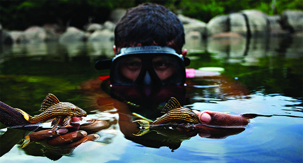 Plecos like these two are collected from the rocky Xingu largely by hand.