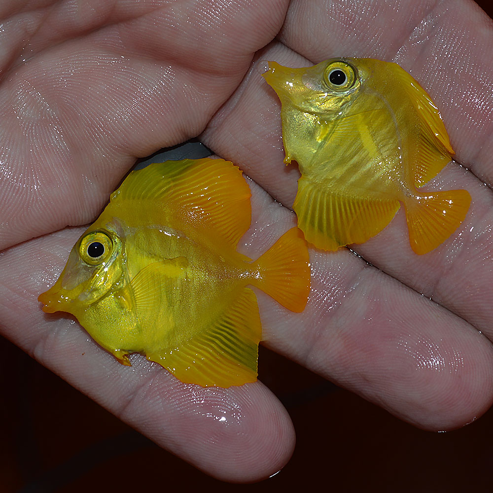 Yellow Tangs this small are virtually unobtainable. Why? Read on!