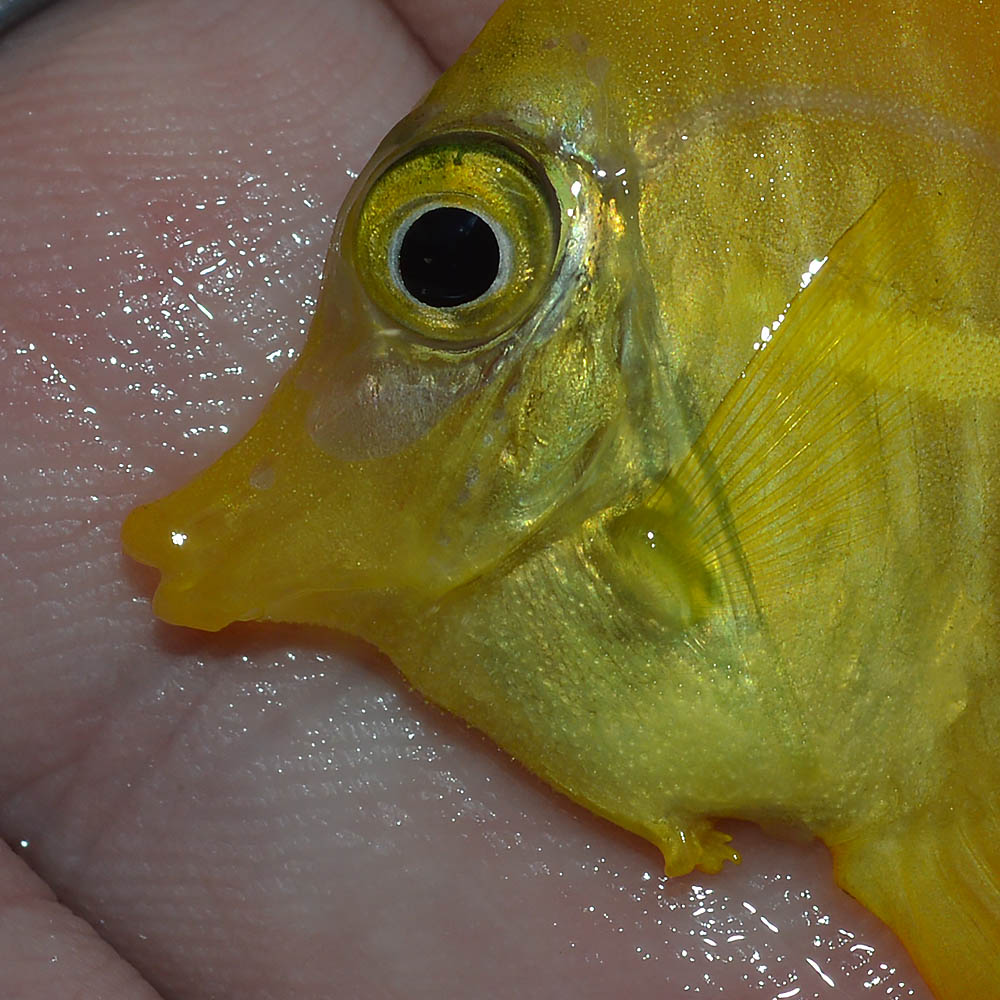 It's entirely unclear if the damage to the ventral fins on this captive-bred Yellow Tang is reversible or permanent, but time will tell.