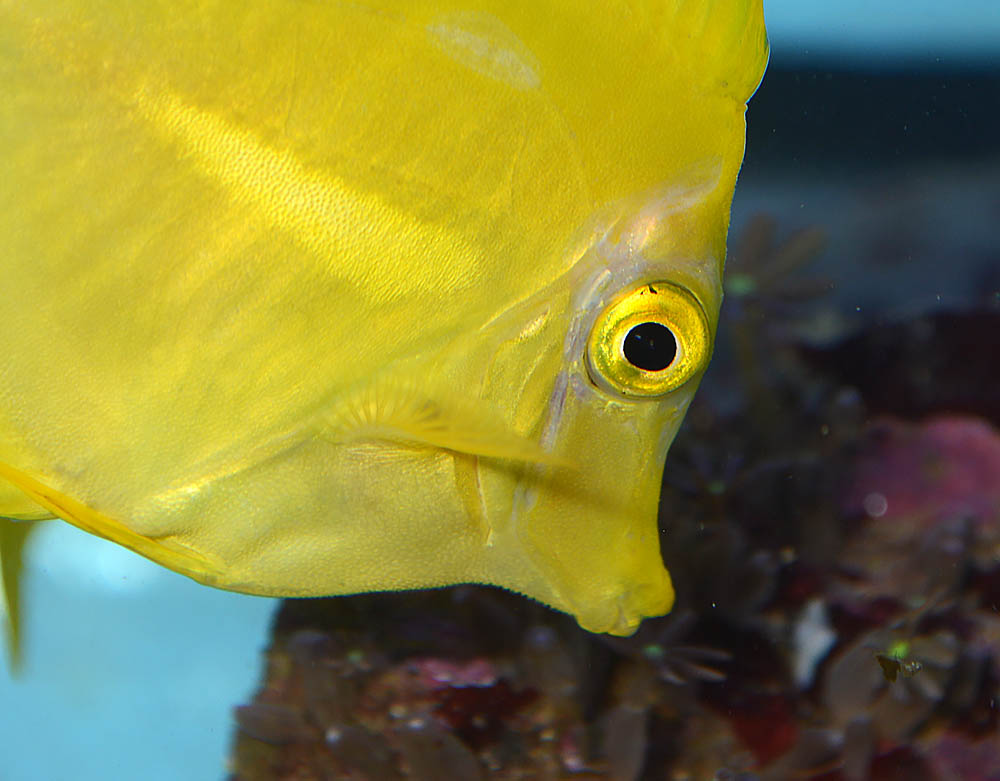 A closeup look at the erosion and discoloration seen on these captive-bred Yellow Tangs.