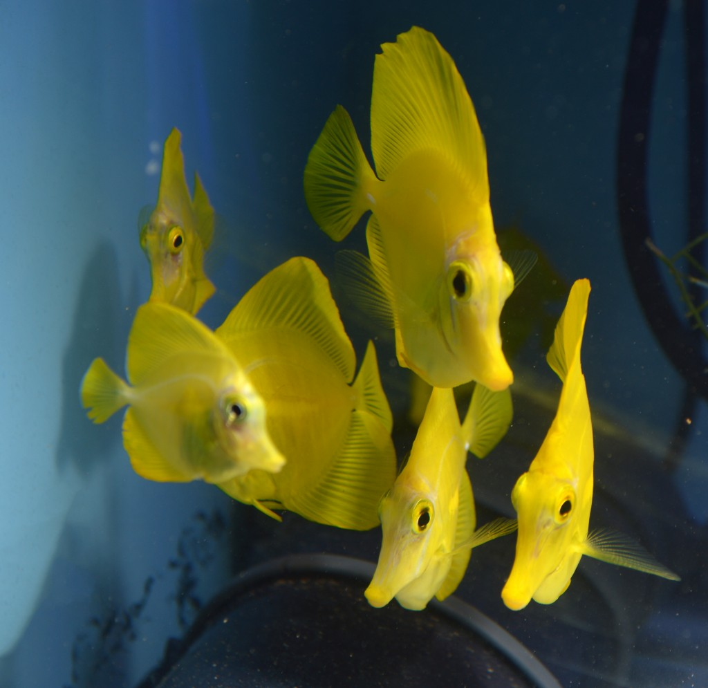 Doesn't everyone deserve a shoal of captive-bred Yellow Tangs? With time, a bit of luck, and willing public support, maybe this will be something more of us can enjoy in the future!