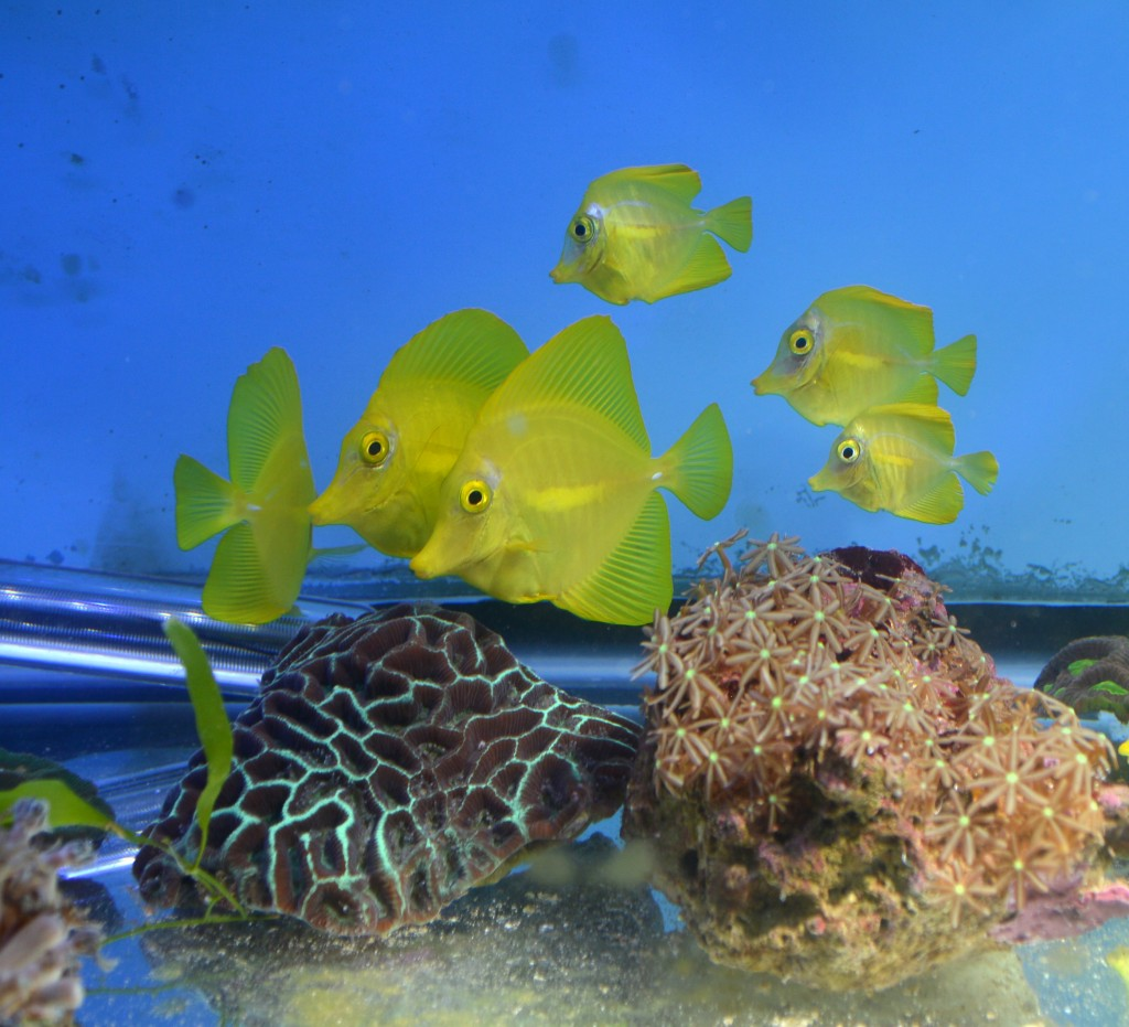 A shoal of captive-bred Yellow Tangs, Zebrasoma flavescens, awaits their final homes in a coral holding tank in Duluth, MN.