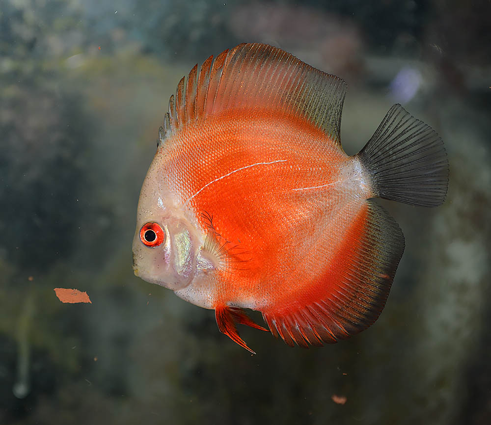 A Red Melon Discus from the group of assorted Malaysian imports; fairly representative of the condition of the fish upon arrival.