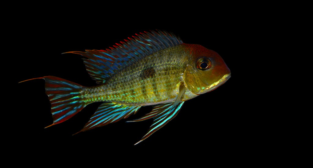 "Geophagus sp. ""Orange Head Tapajos"", yet another popular endemic fish at risk due to another unpopular Brazilian Dam project? - Image by Matt Pedersen"
