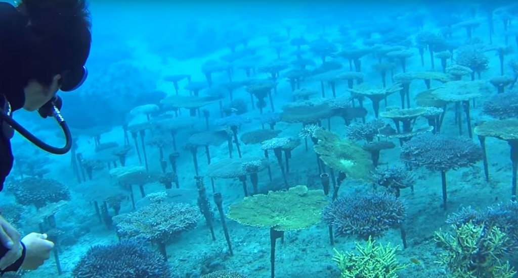 Seemingly endless fields of maricultured coral were a surprise find during this dive.