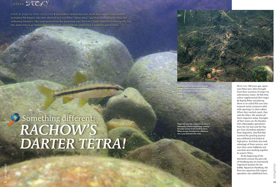 Hans-George Evers reintroduces us to Rachow's Darter Tetra, Characidium rachovii, an unproblematic and easy-to-bred fish that fell by the wayside.